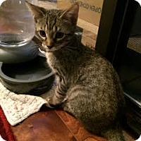 Domestic Shorthair Kitten for adoption in Alamo, California - Tigger