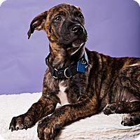 Adopt A Pet :: Nutty - Houston, TX