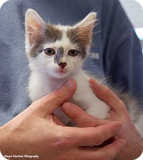 Domestic Shorthair Kitten for adoption in Knoxville, Tennessee - Picasso