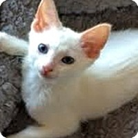 Siamese Kitten for adoption in LaJolla, California - Emi