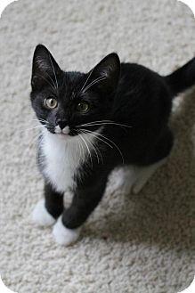 Domestic Shorthair Kitten for adoption in Minneapolis, Minnesota - Piper