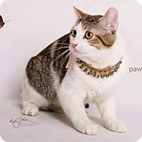 Domestic Shorthair Cat for adoption in Corona, California - SABBY