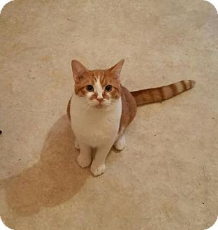 Domestic Shorthair Cat for adoption in Minneapolis, Minnesota - Garrett