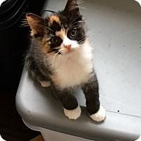 Adopt A Pet :: Callie - Pasadena, CA