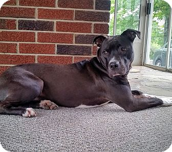 Pit Bull Terrier Mix Dog for adoption in Baltimore, Maryland - Bella