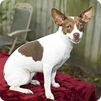 Jack Russell Terrier/Dachshund Mix Dog for adoption in Santa Fe, Texas - Dixie Doodle