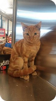 Domestic Shorthair Cat for adoption in Media, Pennsylvania - Ginger Snap