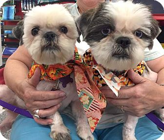 Shih Tzu/Lhasa Apso Mix Dog for adoption in Houston, Texas - Jill