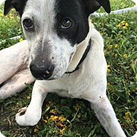 Labrador Retriever Mix Dog for adoption in Miami, Florida - Adele