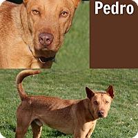 Adopt A Pet :: Pedro - Idaho Falls, ID