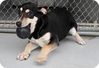 Shepherd (Unknown Type) Mix Dog for adoption in Seguin, Texas - Meadow