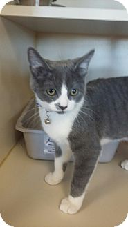 Domestic Shorthair Cat for adoption in Idaho Falls, Idaho - Penny