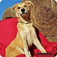 Adopt A Pet :: Diamond 2 in CT - Manchester, CT