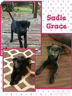 Labrador Retriever Mix Puppy for adoption in Manchester, Connecticut - Sadie Grace-pending adoption