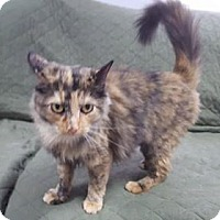 Adopt A Pet :: Torti - Hawk Point, MO