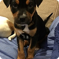 Adopt A Pet :: Vixie - Greenfield, WI