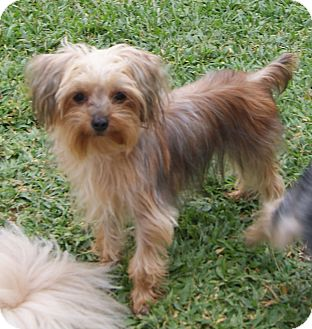 Maltese/Yorkie, Yorkshire Terrier Mix Puppy for adoption in CAPE CORAL ...