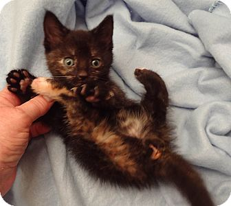 Domestic Shorthair Kitten for adoption in Bentonville, Arkansas - Tizzy