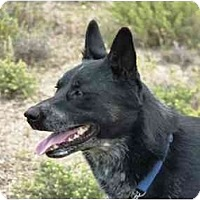 Adopt A Pet :: Ziggy - YERINGTON, NV