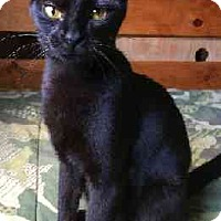 Domestic Shorthair Cat for adoption in Schertz, Texas - Twilight LC