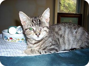 Domestic Shorthair Cat for adoption in Queens, New York - JJ