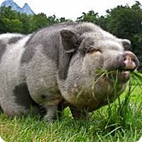 Adopt A Pet :: Potbellied piggy - Black Forest, CO