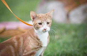Egyptian Mau Cat for adoption in Hastings, Minnesota - Gene Kelly