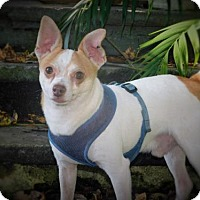 Chihuahua Dog for adoption in Tampa, Florida - TOM TOM (th)