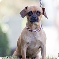 Pug/Chihuahua Mix Dog for adoption in San Diego, California - Estella