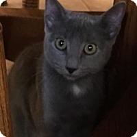 Russian Blue Cat for adoption in Hammond, Louisiana - Sabrina