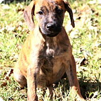 Shepherd (Unknown Type)/Boxer Mix Puppy for adoption in Glastonbury, Connecticut - Ringo
