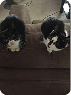 Domestic Mediumhair Kitten for adoption in Warren, Michigan - Batman 1