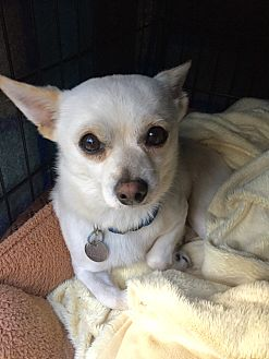 Chihuahua/Pomeranian Mix Dog for adoption in Summerville, South Carolina - Snowball