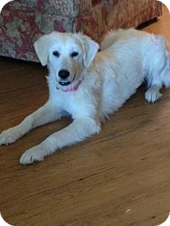 Great Pyrenees Mix Dog for adoption in Garland, Texas - Apple