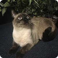 Siamese Cat for adoption in Fayetteville, Georgia - Cleopatra