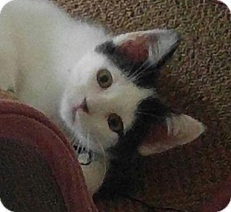 Domestic Shorthair Kitten for adoption in Amherst, Massachusetts - Panda Bear