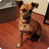 Manchester Terrier/Terrier (Unknown Type, Medium) Mix Puppy for adoption in Cape Coral, Florida - Tank