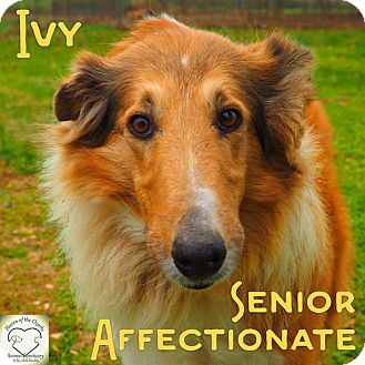 Collie Mix Dog for adoption in Washburn, Missouri - Ivy