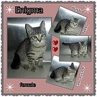 Adopt A Pet :: Enigma - Richmond, CA
