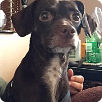 Dachshund/Chihuahua Mix Dog for adoption in North Las Vegas, Nevada - King