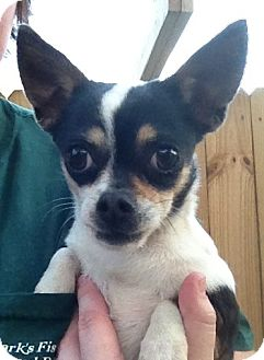 Chihuahua Mix Dog for adoption in Gainesville, Florida - Ya-Ya