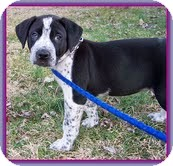 Labrador Retriever/Hound (Unknown Type) Mix Puppy for adoption in Spring Valley, New York - Pepper (In New England)