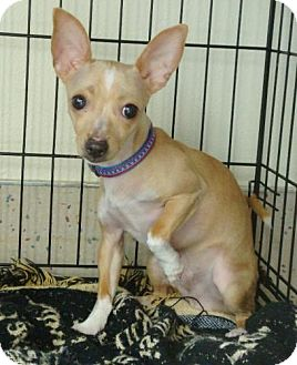 Chihuahua/Italian Greyhound Mix Puppy for adoption in Red Bluff, California - Spencer