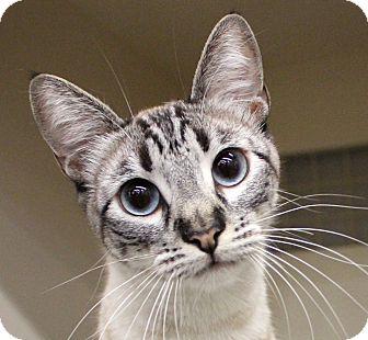 Siamese Cat for adoption in Winchester, California - Bailey