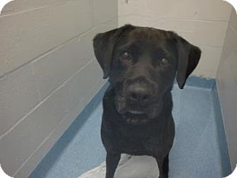 Labrador Retriever Mix Dog for adoption in Gainesville, Florida - Bruce