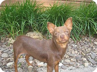 Chihuahua/Miniature Pinscher Mix Dog for adoption in Stilwell, Oklahoma - Lacy