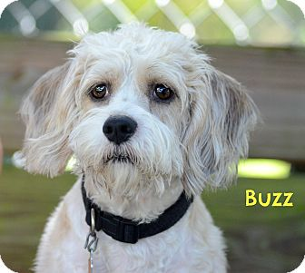 Buzz Adopted Dog St Petersburg Fl Cockapoo
