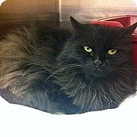 Turkish Angora Cat for adoption in Pittstown, New Jersey - Boo