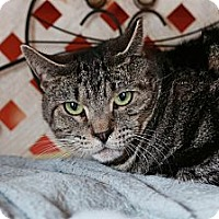 Domestic Shorthair Cat for adoption in Redondo Beach, California - Zeke