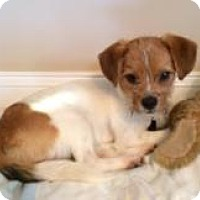 Adopt A Pet :: Mikkie 8 mo. old - Marlton, NJ